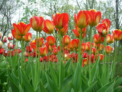 It's Tulip Time – Know this Gardener's Trick